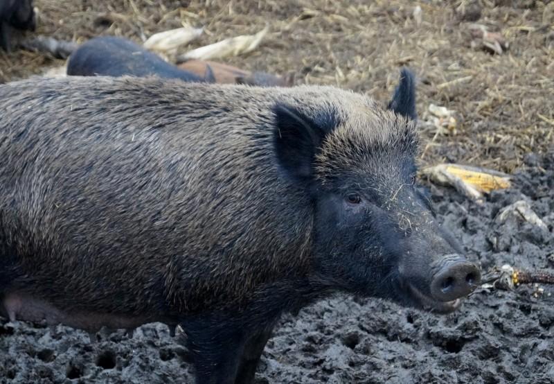 Feral Hog Hunting Tips Banks Outdoors