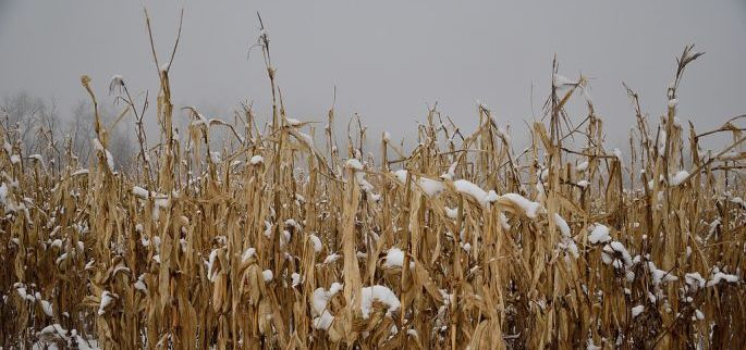Leave Corn Standing for Late Season